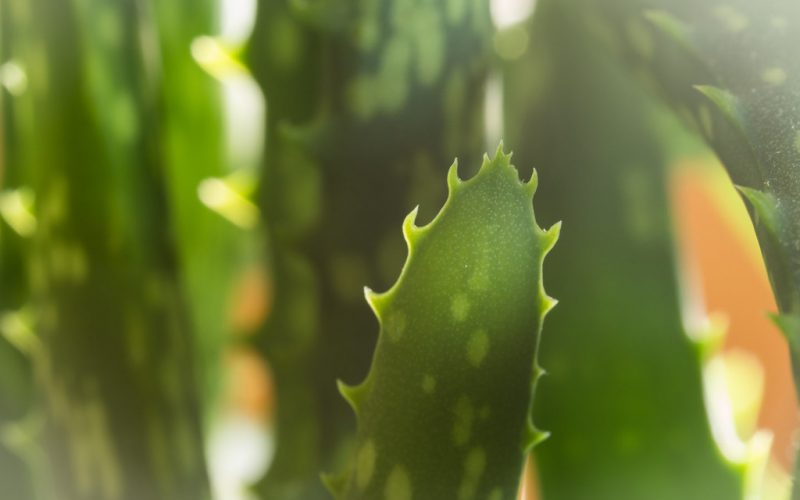 10 Powerful Healing Benefits Of Eating Aloe Vera How To Prepare It