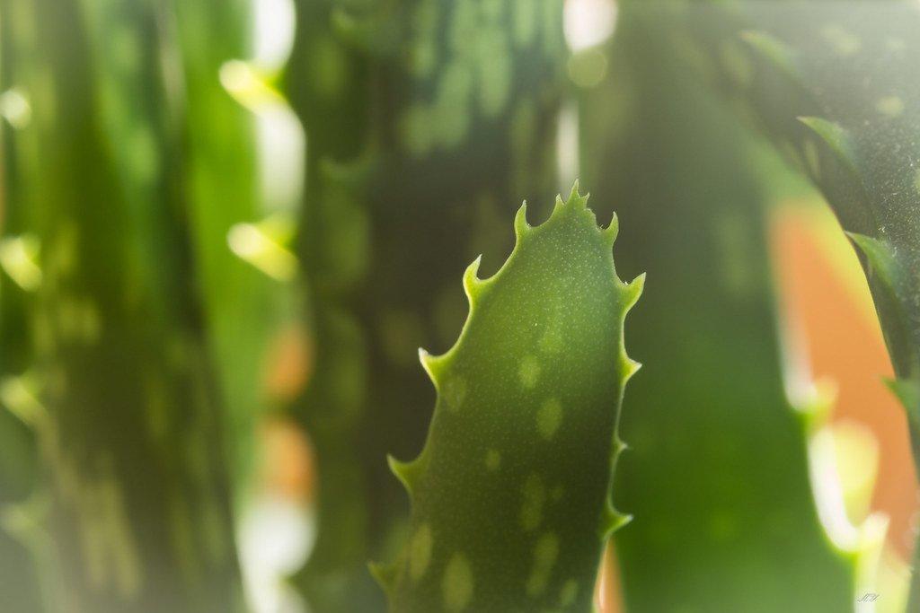 10 Powerful Healing Benefits Of Eating Aloe Vera How To Prepare It