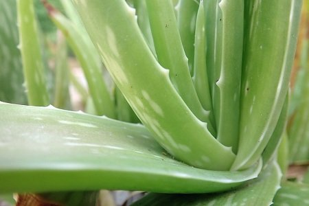 Eating Aloe Vera